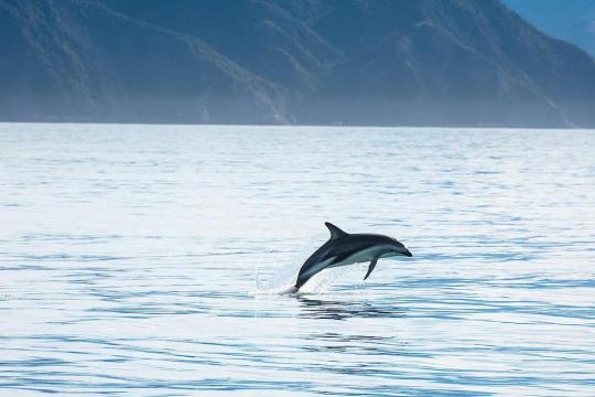 Swim with Dolphins Kaikoura [included]