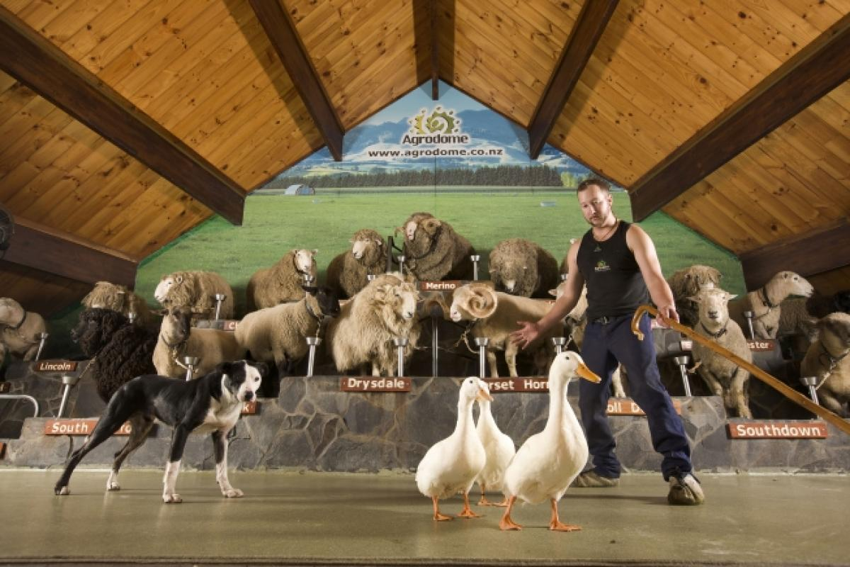 A Kiwi Sheep Farming Experience - The Agrodome